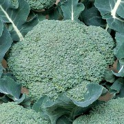 (11/05/2016) Brassica oleracea (Italica Group) 'Belstar'  added by Shoot)