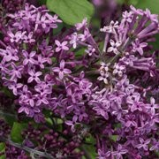 (13/05/2016) Syringa 'Bloomerang Dark Purple' added by Shoot)