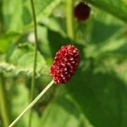 Sanguisorba officinalis 'Tsetseguun'