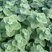 (17/05/2016) Origanum syriacum added by Shoot)