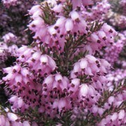 (19/05/2016) Erica x darleyensis 'Spring Surprise' added by Shoot)