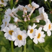 (15/06/2016) Primula japonica 'Alba' added by Shoot)