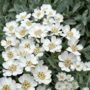 (13/03/2019) Achillea umbellata added by Shoot)