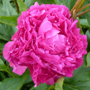 Paeonia lactiflora 'Bunker Hill' (23/03/2021) Paeonia lactiflora 'Bunker Hill' added by Shoot)