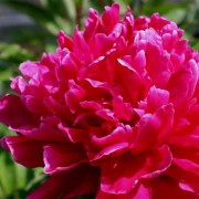 (03/09/2018) Paeonia lactiflora 'L'eclatante' added by Shoot)