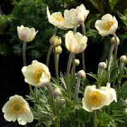 Anemone multifida 'Major'