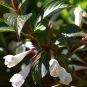 (04/12/2018) Weigela 'Black and White'  added by Shoot)