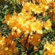 Rhododendron 'Golden Lights'