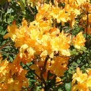 (21/06/2016) Rhododendron 'Golden Lights' added by Shoot)