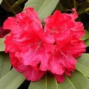 (21/06/2016) Rhododendron 'Britannia' added by Shoot)
