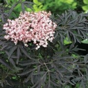 (06/01/2021) Sambucus nigra f. porphyrophylla 'Eva' added by Shoot)