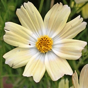 Cosmos 'Yellow Garden'