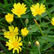 Leontodon hispidus (Rough hawkbit) (24/05/2017) Leontodon hispidus added by Shoot)
