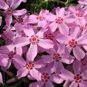 (30/06/2016) Phlox subulata 'Marjorie' added by Shoot)