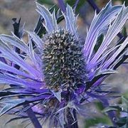 (30/06/2016) Eryngium x zabelii 'Violetta' added by Shoot)