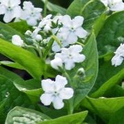 (30/06/2016) Omphalodes verna 'Alba' added by Shoot)