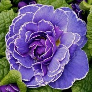 (04/07/2016) Primula 'Belarina Amethyst Ice' (Belarina Series) added by Shoot)
