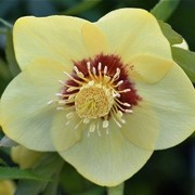 (05/07/2016) Helleborus x hybridus 'Gold Red Star' added by Shoot)