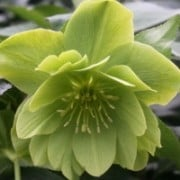(05/07/2016) Helleborus x hybridus double, green-flowered added by Shoot)