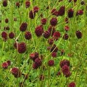 (05/07/2016) Sanguisorba 'Chocolate Tip' added by Shoot)
