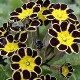 Primula Gold-laced Group 'Gold Lace Black'