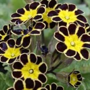 (08/07/2016) Primula Gold-laced Group 'Gold Lace Black' added by Shoot)