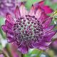 Astrantia major 'Midnight Owl'