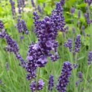 (07/05/2019) Lavandula angustifolia 'Imperial Gem' added by Shoot)