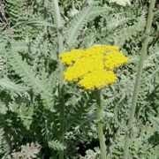 (11/07/2016) Achillea clypeolata added by Shoot)