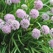 (11/07/2016) Allium senescens added by Shoot)