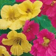 (12/07/2016) Tropaeolum majus Summer Carousel Mix added by Shoot)