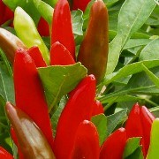 (12/07/2016) Capsicum annuum 'Krakatoa'  added by Shoot)