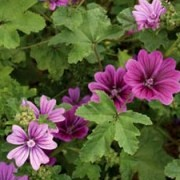 (14/07/2016) Malva sylvestris var. mauritiana 'Mystic Merlin' added by Shoot)
