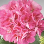 (18/07/2016) Pelargonium 'Classic Candy Rose with Blotch' added by Shoot)