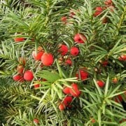 (23/09/2020) Taxus baccata added by Shoot)