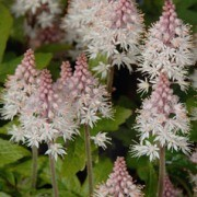 (09/08/2016) Tiarella 'Pink Torch' added by Shoot)