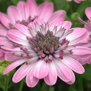 (10/08/2016) Osteospermum '3D Pink' added by Shoot)