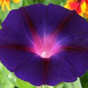 Ipomoea purpurea 'Kniola's Black Night'