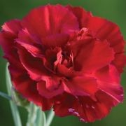 (19/08/2016) Dianthus 'Devon General' added by Shoot)