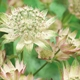 Astrantia major 'Rosemarie'