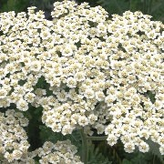 (30/08/2016) Achillea 'Alabaster' added by Shoot)