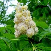 (06/09/2016) Aesculus hippocastanum 'Baumannii' added by Shoot)
