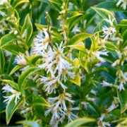 Sarcococca confusa (29/12/2011)  added by Shoot)