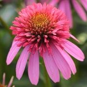 (07/09/2016) Echinacea 'Double Scoop Bubblegum' added by Shoot)
