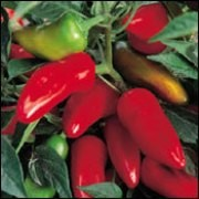 (10/09/2016) Capsicum annuum 'Fresno' added by Shoot)