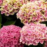 (11/09/2016) Hydrangea macrophylla 'Magical Coral' added by Shoot)