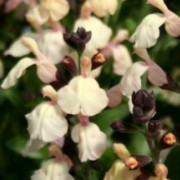 (12/09/2016) Salvia x jamensis 'Melen' added by Shoot)