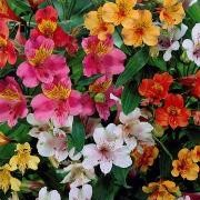 (27/09/2016) Alstroemeria (any hardy variety) added by Shoot)