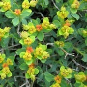(05/10/2016) Euphorbia spinosa added by Shoot)