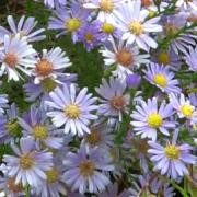 (07/10/2016) Aster ericoides 'Blue Star' added by Shoot)